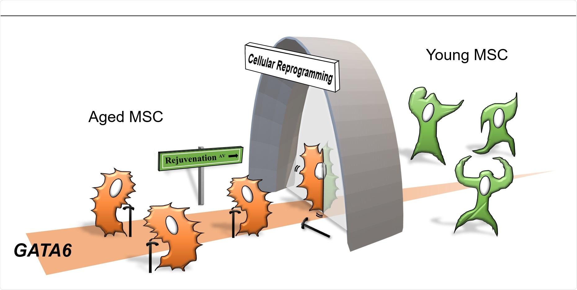 Механизъм на клетъчното стареене