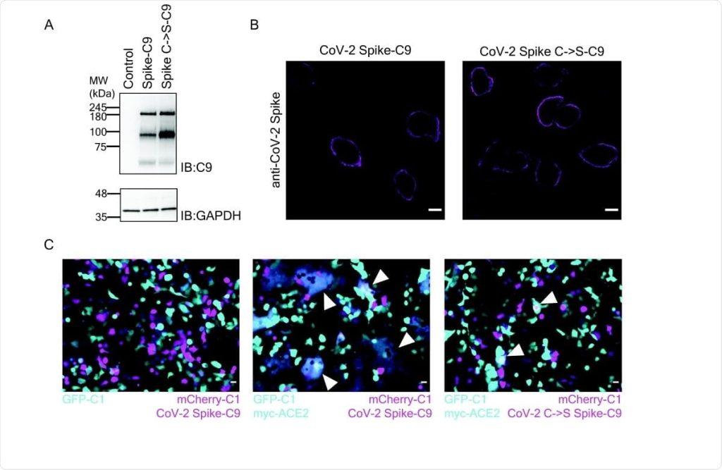 Проучване при животни предполага, че инхибиторът на палмитоилация намалява вирулентността на SARS-CoV-2 | ✅ Д-р Стоян Арнаудов - Ортопед | Травматолог ⭐️